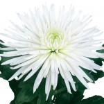Анастасия белая
